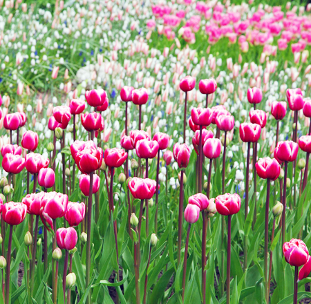 Tulipes et Printemps