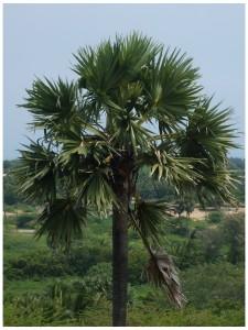 Borassus_flabellifer Palmier de Palmyre